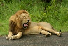 Gnuśny lew Obrazy Stock