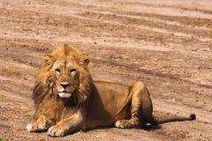 Gnuśny lew Na ziemi Piaskowata sawanna Serengeti, Tanzania Zdjęcie Royalty Free