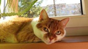 Gnuśny odpoczynkowy rudzielec kot na windowsill obraz royalty free