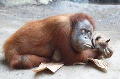 Gnuśny Orang Utan Zdjęcie Royalty Free