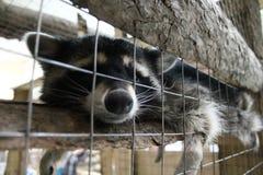 Gnuśny szop pracz przy zoo obraz royalty free
