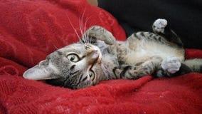 Gnuśny tabby kot zdjęcia stock