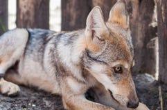 Gnuśny wilczy szczeniak fotografia stock
