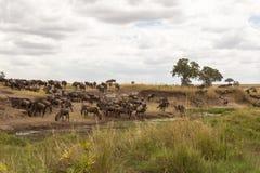 Gnu och sebror på att bevattna mara masai Arkivfoton
