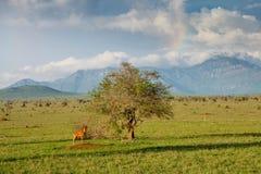 Gnu på det ensamma trädet i den Tsavo nationalparken i Kenya royaltyfri bild