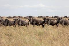 Gnu på slättarna av Masai Mara, Kenya, Afrika arkivbild