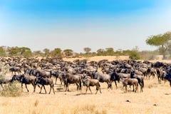 Gnu - gnu på stor flyttningstid i savann av Serengeti, Tanzania, Afrika arkivbild