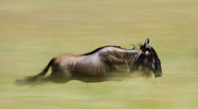 Gnu que correm através do savana Grande migração kenya tanzânia Masai Mara National Park Efeito do movimento Fotos de Stock