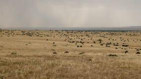 Gnu que pasta na reserva do jogo de mara do Masai, kenya fotografia de stock