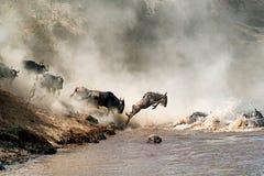 Gnu que pula em Mid Air sobre Mara River imagem de stock