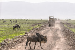 Gnu on the road Royalty Free Stock Photo