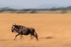 Gnu running Fotos de Stock Royalty Free