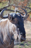 Gnu´s portrait. Close-up, head shot of a Gnu in an South African Game reserve Royalty Free Stock Images