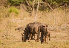 Gnu in the savanna of in Zimbabwe, South Africa royalty free stock image