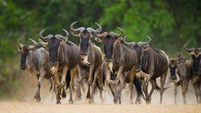 Gnu som kör till och med savannahen stor flyttning kenya tanzania Masai Mara National Park Royaltyfri Bild