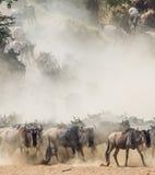 Gnu som kör till och med savannahen stor flyttning kenya tanzania Masai Mara National Park Royaltyfria Bilder