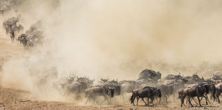 Gnu som kör till och med savannahen stor flyttning kenya tanzania Masai Mara National Park Arkivfoto