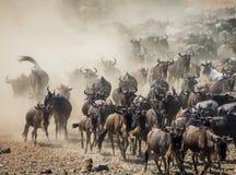 Gnu som kör till och med savannahen stor flyttning kenya tanzania Masai Mara National Park Arkivfoton