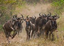 Gnu som kör till och med savannahen stor flyttning kenya tanzania Masai Mara National Park Royaltyfri Fotografi