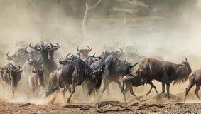 Gnu som kör till och med savannahen stor flyttning kenya tanzania Masai Mara National Park Rörelseeffekt arkivfoton