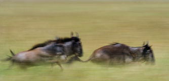 Gnu som kör till och med savannahen stor flyttning kenya tanzania Masai Mara National Park Rörelseeffekt Arkivfoto
