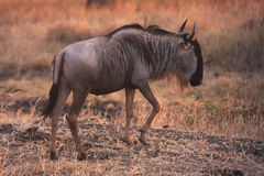 Gnu in sunset Stock Photography