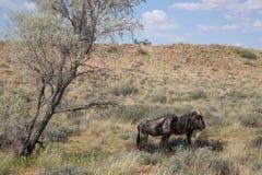 GNU twee in Kgalagadi Royalty-vrije Stock Foto