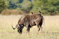 Gnu and two mynahs Stock Image