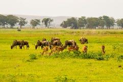 Gnu- und Impalaherden lassen nebeneinander in der Savanne weiden Stockfotografie