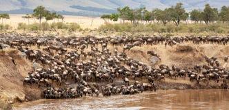 Gnu und Zebra erfassen auf den Banken des Mara-Flusses stockfotografie