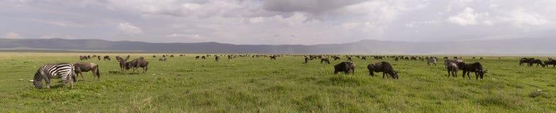 Gnu und Zebra im Panorama, Ngorongoro-Krater, Tansania lizenzfreies stockbild