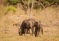 Gnu w sawannie w Zimbabwe, Południowa Afryka obraz royalty free