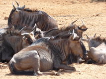 Gnu. These  gnu were photographed is  the  Pilanesberg National  reserve . They are  resting  in  a  small  group Royalty Free Stock Images
