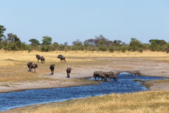 Gnu, wildebeest Africa safari wildlife and wilderness Stock Images
