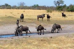 Gnu, wildebeest Afryka safari przyroda i pustkowie, Fotografia Royalty Free