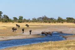 Gnu, wildebeest Afryka safari przyroda i pustkowie, Obrazy Stock