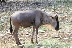 Gnu Wildebeest Stock Image