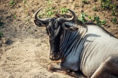 Gnu - wildebeest laying on the sand. royalty free stock image