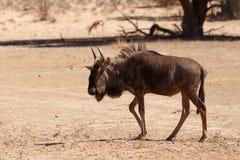 Gnu, wildebeest na Kalahari pustyni, Afryka safari przyroda Obrazy Royalty Free