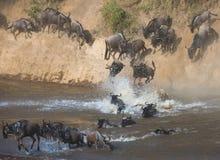 Gnubanhoppning in i Mara River stor flyttning kenya tanzania Masai Mara National Park royaltyfria foton