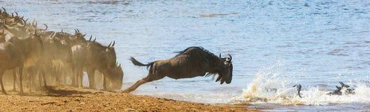 Gnubanhoppning in i Mara River stor flyttning kenya tanzania Masai Mara National Park royaltyfria bilder