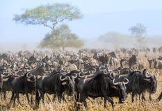 Gnuflyttning dammiga antilop går migratingsavannaen för flock Gnu som kallas också gnu eller wildebaien, är a royaltyfri foto