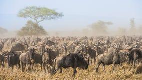 Gnuflyttning dammiga antilop går migratingsavannaen för flock Royaltyfri Foto
