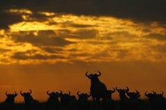 Gnus bei Sonnenuntergang lizenzfreie stockfotos
