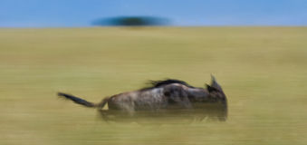Gnus, die durch die Savanne laufen Große Systemumstellung kenia tanzania Masai Mara National Park Bewegungseffekt Lizenzfreie Stockfotografie