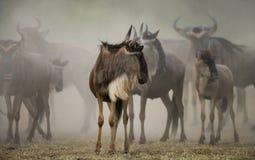 Gnus, die durch die Savanne laufen Große Systemumstellung kenia tanzania Masai Mara National Park Lizenzfreie Stockbilder
