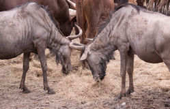 Gnus at the eating Stock Photos
