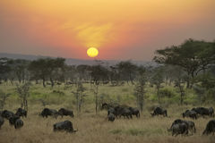 Wildebeests at sunset in Serengeti. Wildebeest grazing at sunset between trees in Serengeti stock photo
