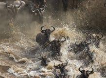 Gnus kreuzen Mara-Fluss Große Systemumstellung kenia tanzania Masai Mara National Park lizenzfreie stockfotografie