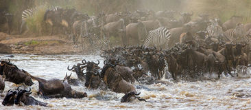 Gnus kreuzen Mara-Fluss Große Systemumstellung kenia tanzania Masai Mara National Park lizenzfreies stockfoto